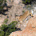 Young Auodad Sheep Descending The Canyon by Gary LangleyYoung Auodad sheep desending the Canyon