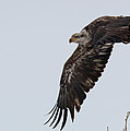 Young Bald Eagle Launches Into The Air by Tony Hake