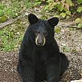 Young Bear 1 by Lara Ellis
