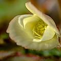 Young Begonia Bloom by Koji Kanemoto