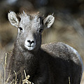 Young Bighorn Sheep by Gary Langley