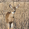 Young Black-tailed Deer by Kathleen Bishop