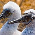 Young Blue Footed Booby by Mike Fisher