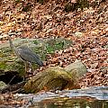 Young Blue Heron by Paul Mangold