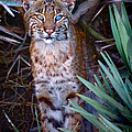 Young Bobcat by Mark Andrew Thomas