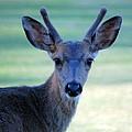Young Buck by AJ  Schibig