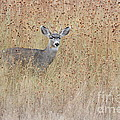 Young Buck by Bryan Keil