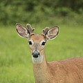 Young Buck With Velvety Antlers by Jim Lepard