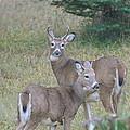 Young Bucks by Sandra Updyke