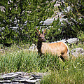Young Bull Elk - Yellowstone National Park - Wyoming by Diane Mintle