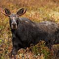 Young Bull Moose Being Aggressive by Jonathan Steele