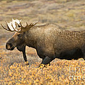 Young Bull Moose by Ron Sanford
