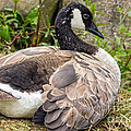 Young Canada Goose by Kate Brown