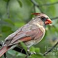 Young Cardinal by Cheryl Baxter