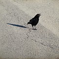 Young Cawing Crow by Gothicrow Images