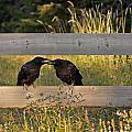 Young Common Ravens by NightVisions