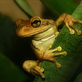 Young Cuban Tree Frog. by Chris  Kusik