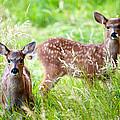Young Deer by Crystal Hoeveler