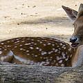 Young Deer by Sotiris Filippou
