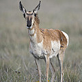 Young Doe Antelope by Gary Langley