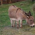 Young Donkey Eating by Chris Flees