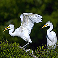Young Egret Spreading His Wings by John Greco