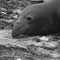 Young Elephant Seal Bull by Gwendolyn Barnhart
