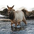 Young Elk by Brenda Boyer