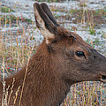 Young Elk Calf by Brenda Jacobs