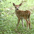 Young Fawn In The Woods by Myrna Bradshaw