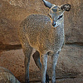 Young Female Klipspringer by Nikolyn McDonald