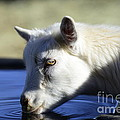 Young Goat by Dianne Phelps