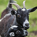 Young Goat With Mother by Brandon Alms