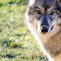 Young Gray Wolf In Light by Neal Eslinger