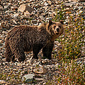 Young Grizzly Bear In Glacier National Park by Brenda Jacobs