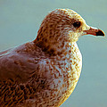 Young Gull by Anna Burdette