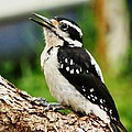 Young Hairy Woodpecker by VLee Watson