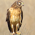 Young Harrier by Frank Townsley
