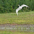 Young Heron In Flight by Betsy Cotton