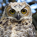 Young Hooter  by Craig Corwin
