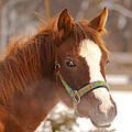 Young Horse In Winter Day by Jaroslav Frank