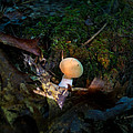 Young Lonely Mushroom 2 by Douglas Barnett