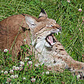 Young Lynx Yawning by Jill Mitchell