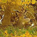 Young Male Buck by Jeff Swan