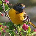 Young Male Oriole by Bruce Bley