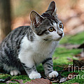 Young Manx Cat by James L. Amos