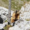 Young Marmot by Antonio Scarpi