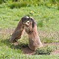 Young Marmots by Antonio Scarpi
