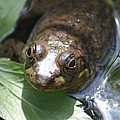 Young Mill Lake Frog by Nicki Bennett