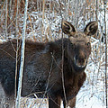 Young Moose 3 by Joseph Marquis